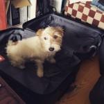 Salamatkustaja Möykky-koira.