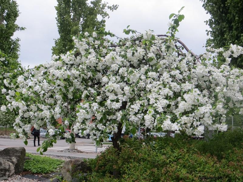 Uuden hienon teatterin edessä kasvaa myös hieno omenapuu