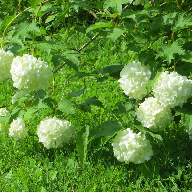 Sade on niin runsasta, että kukat painuvat maata kohden.