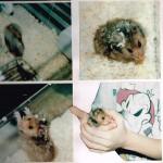 Nöpö-hamsterin häkin siivous