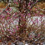 Editoituna luminen pensasIMG_6115