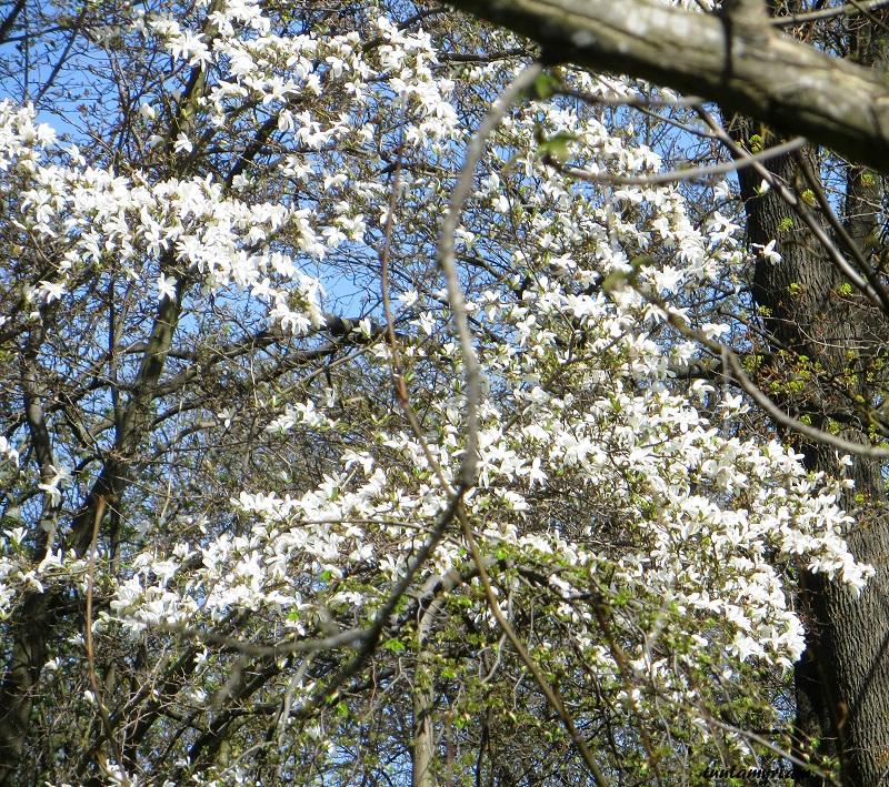 kukkiva puu