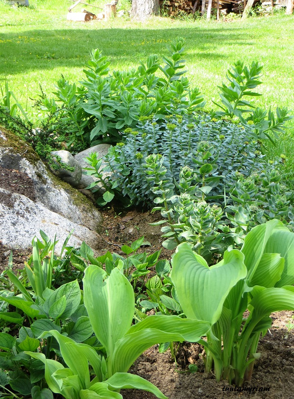 Päivänliljat, jotka kasvoivat isoissa paakuissa, siirsin kiven taakse, jossa kasvoi vanha kurtturuusu.  Kivi tuli näkyviin, penkki sai enemmän tilaa ja näyttävyyttä