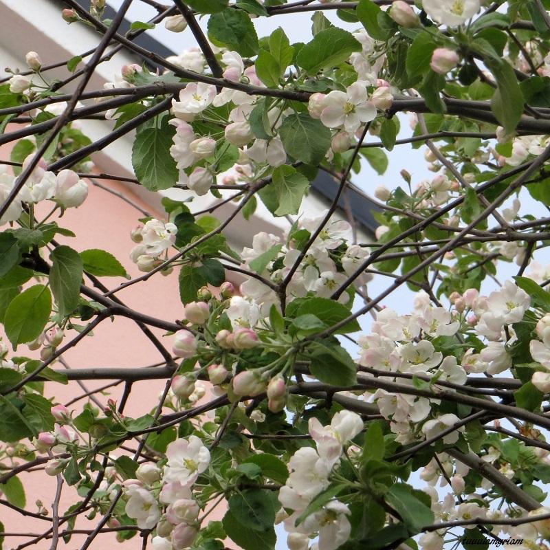 Terassilla on kolme täysikokoista omenapuuta. Vuosi sitten satuin näkemään ne täydessä kukassa