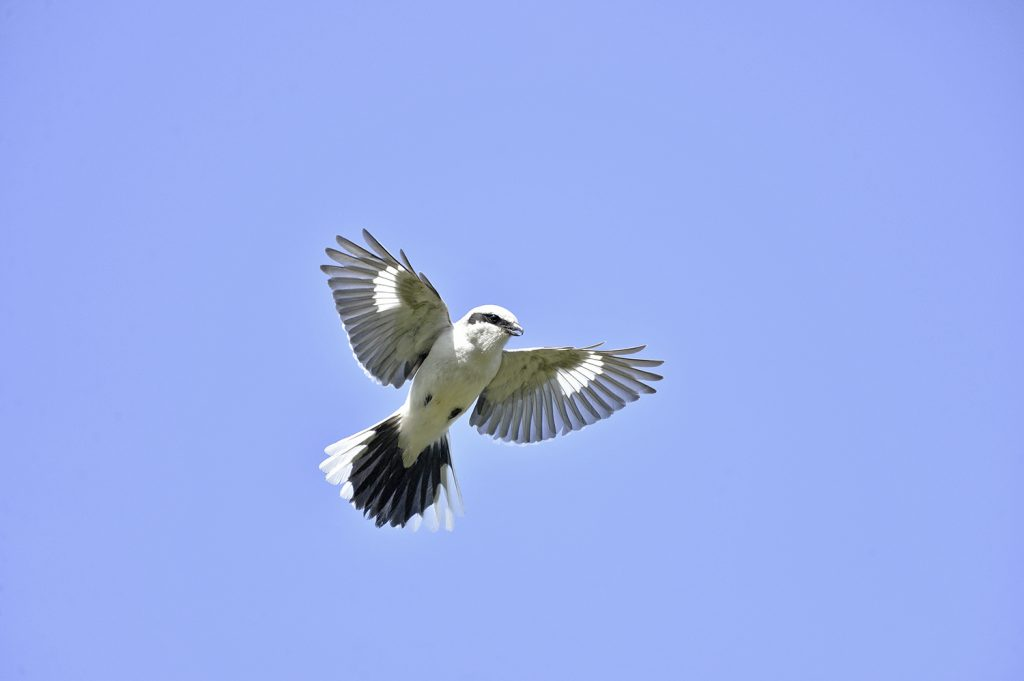 Lapinharakka eli isolepinkäinen on taitava lentäjä. Se saalistaa nopeasti syöksyen ja kykenee lekuttamaan paikallaan kuten tuulihaukka.