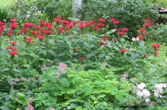 Väriminttu puhkeaa kukkaan heinä- elokuun vaihteessa, pieni särkynyt sydän kukkii kesäkuun alusta syksyyn, jos se saa hieman tilaa ympärilleen.
