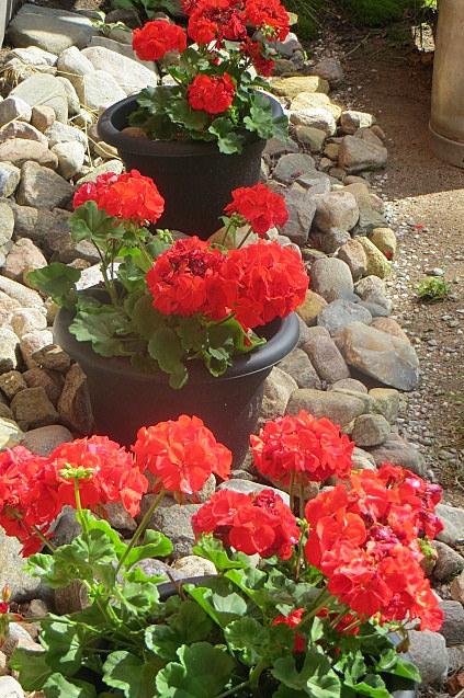 Pelargonia on oiva kuivan ja aurikoisen paikan kukka, kun vain muistaa nyppiä kuolleet kukat pois.Kukkii koko kesän.