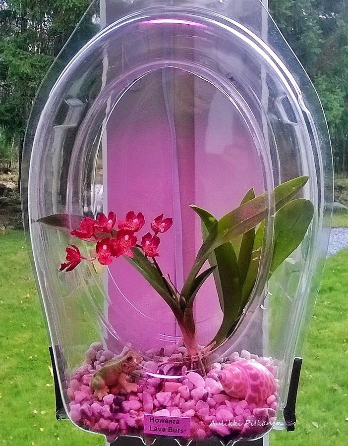 ss-orkidearuukku-howearalle