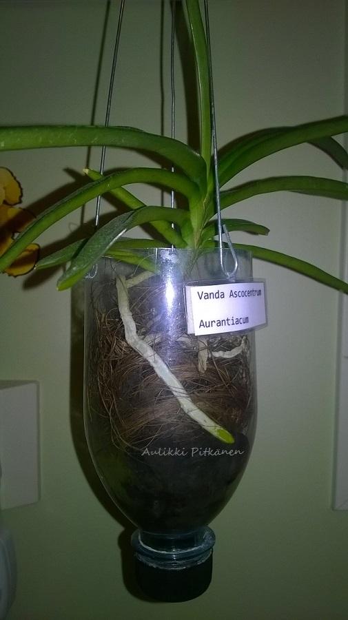ss-orkidearuukku-pullosta