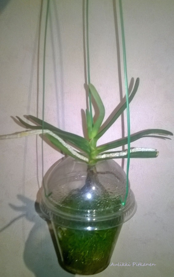 ss-orkidearuukku-vandalle
