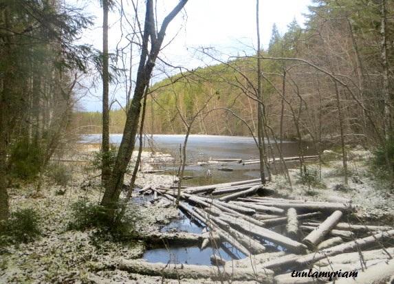 Kolmisopen lammen rannan kaatuneet tervalepät kestävät vedessä maatumatta pidempään kuin monet havupuut