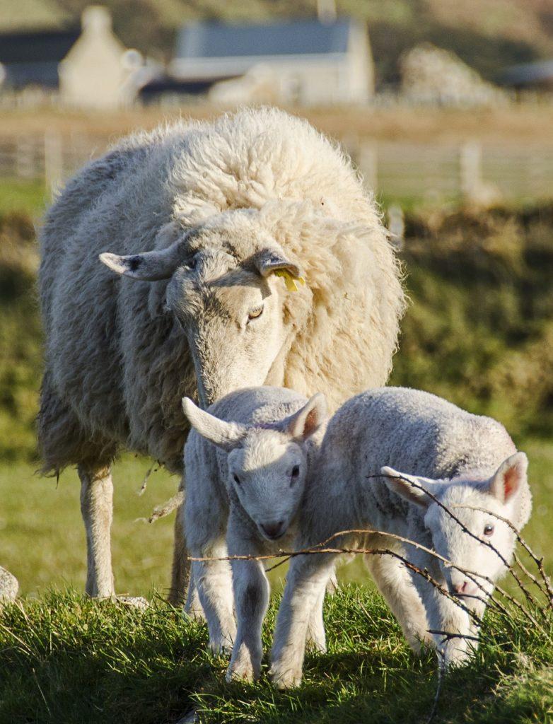 sheep-1289929_1280