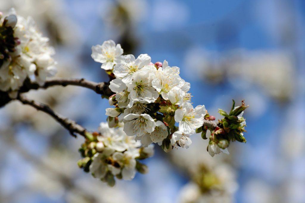 Omenapuun oksa, jossa kukkia.